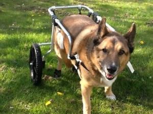 Hondenrolstoel huren